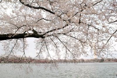The Tidal Basin Through the Cherry Blossoms Photo, Click for full size