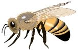 Western Honeybee (Apis mellifera) image. Click for full size.