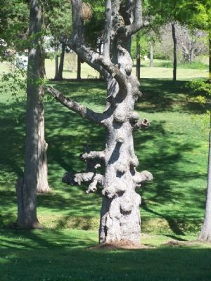Campus Knotted Tree image. Click for full size.