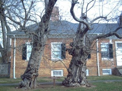 Two Catalpa Trees, silent witnesses to desolation and the ravages of war, still stand. image. Click for full size.