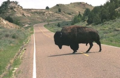 "Bison have the ""Right-of-Way"" image. Click for full size."