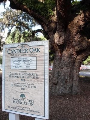 The Candler Oak Photo, Click for full size