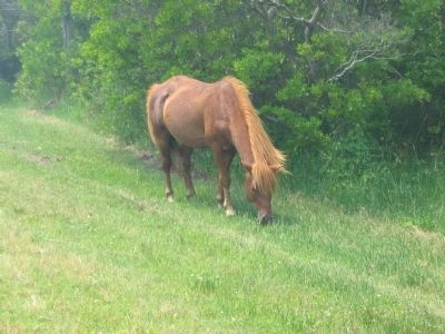 Grazing Pony Photo, Click for full size