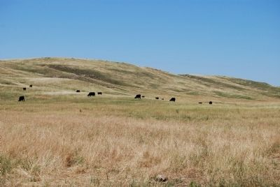 Cattle in the Sandhills Photo, Click for full size