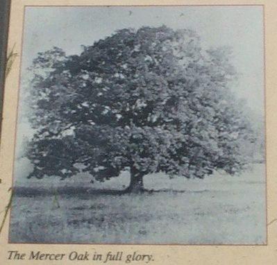 The Mercer Oak in full glory image. Click for full size.