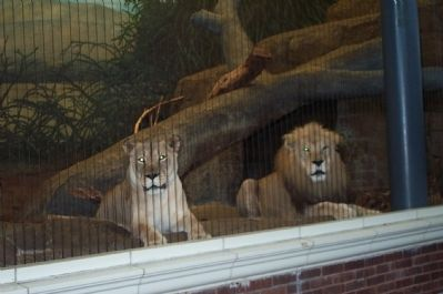 Lions in the lion house. image. Click for full size.