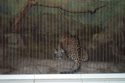 Leopard in the lion house. image. Click for full size.