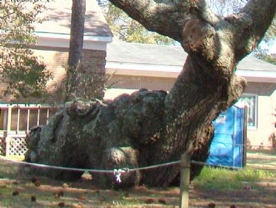 Indian Trail Tree Trunk image. Click for full size.