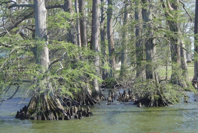 Cypress Trees in the Lake Photo, Click for full size