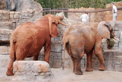 Joy and Ladybird<br>Elephant in the Greenville Zoo image. Click for full size.