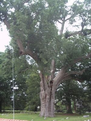 The Famous Salem Oak Tree image. Click for full size.