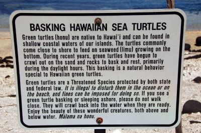 Basking Hawaiian Sea Turtles image. Click for full size.