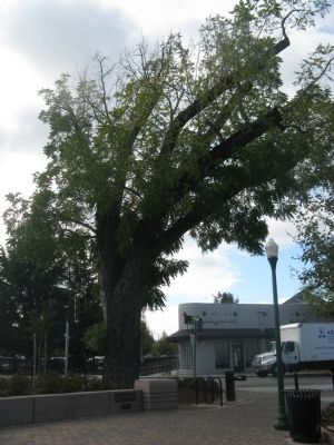 Black Walnut Tree image. Click for full size.