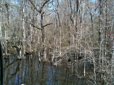 Wassamassaw Cypress Swamp image. Click for full size.