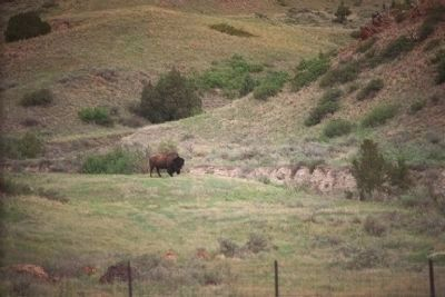 North Dakota Badlands, Bull Bison Photo, Click for full size