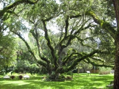 The Confederate Oak image. Click for full size.
