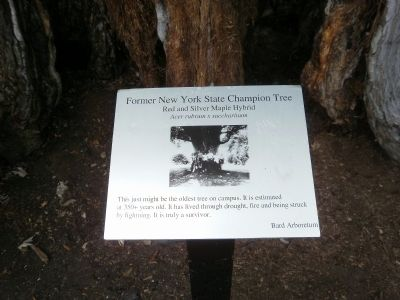 Former New York State Champion Tree Marker image. Click for full size.