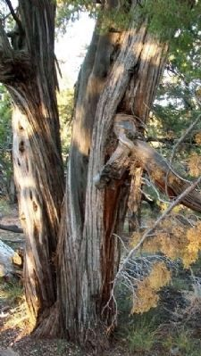 Utah Juniper Near Marker image. Click for full size.