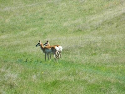 Pronghorn in Custer State Park image. Click for full size.