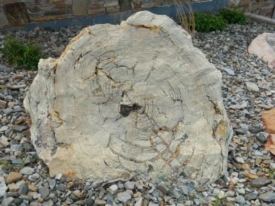 Petrified Tree Photo, Click for full size