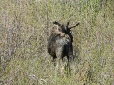 Bull moose grazing near the marker. image. Click for full size.