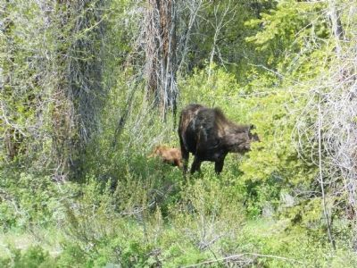 Female moose and calf near marker. image. Click for full size.