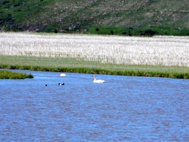 Trumpeter Swans image. Click for full size.