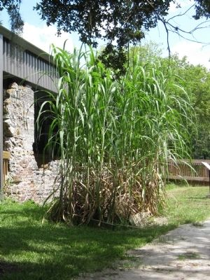 Sugar Cane Stalks image. Click for full size.