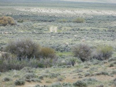 Grazing Sheep Pretending to be Pronghorn Antelope image. Click for full size.