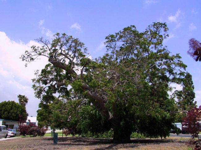 Paradox Hybrid Walnut Tree image. Click for full size.