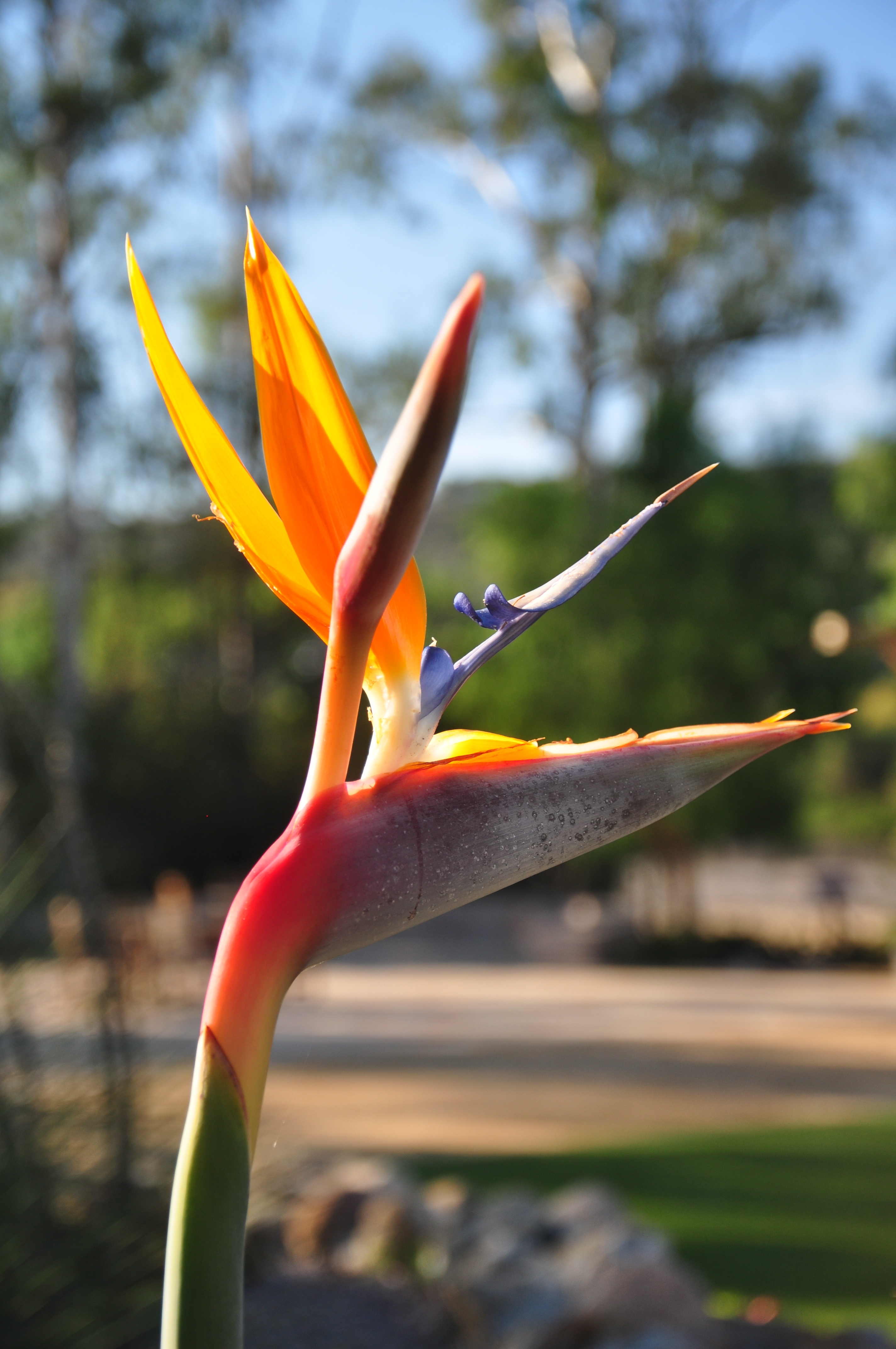 Orange Bird of Paradise (Strelitzia reginae)