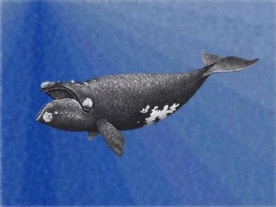 North Atlantic Right Whale image. Click for full size.