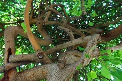 Interior of Weeping Mulberry Tree at the Park Photo, Click for full size