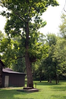 Other View - - Northern Catalpa Tree image. Click for full size.