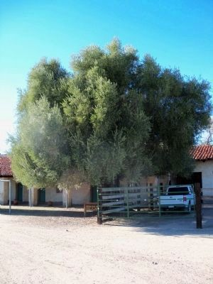 Original Olive Tree image. Click for full size.