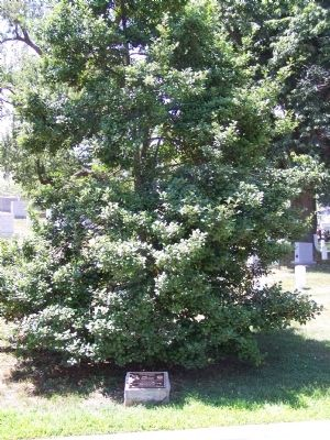93rd Bombardment Group (Heavy) Marker and Memorial American Holly Tree image. Click for full size.