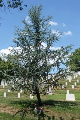 The Peacemaker Marker and  Blue Atlas Cedar Memorial Tree image. Click for full size.