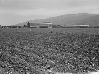 <i>Spreckels Sugar Factory and Sugar Beet Field...Monterey...</i> image. Click for full size.