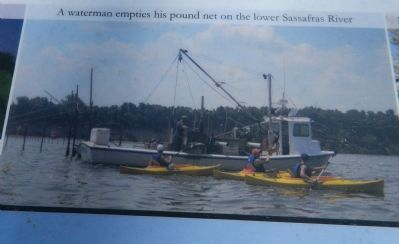 A waterman empties his pound net on the lower Sassafras River image. Click for full size.
