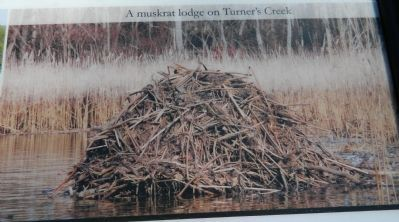 A muskrat lodge on Turner's Creek image. Click for full size.