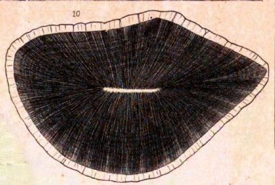 Astrodon Tooth in Cross Section image. Click for full size.