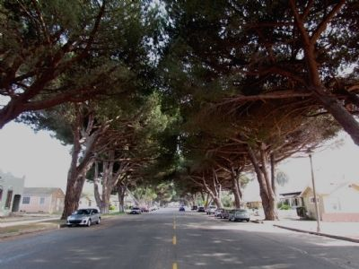 Italian Stone Pines along South H Street image. Click for full size.