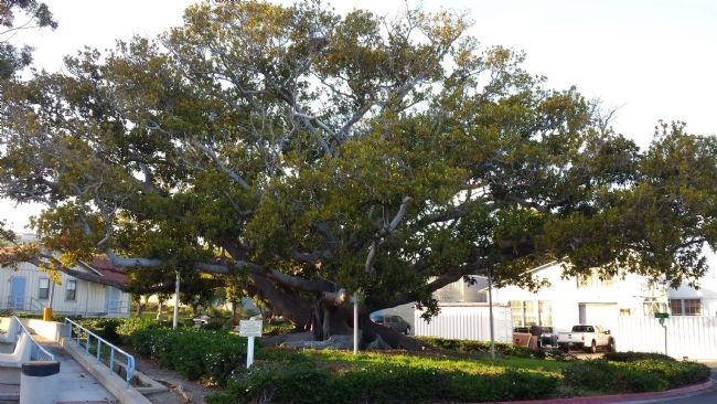 Moreton Bay Fig image. Click for full size.