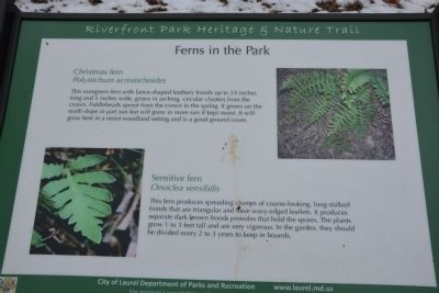 Ferns in the Park image. Click for full size.