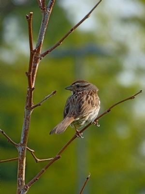 Song Sparrow image. Click for full size.