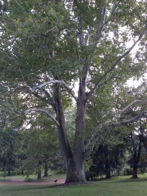 Historic sycamore tree on mansion property image. Click for full size.