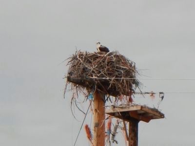 Osprey Nest image. Click for full size.