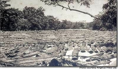 Mahogany logs held up at a boom in Belize. image. Click for full size.