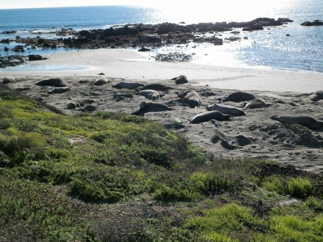Elephant Seals image. Click for full size.