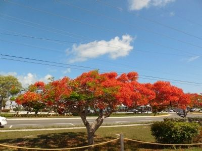 Blooming poinciana tree near marker image. Click for full size.